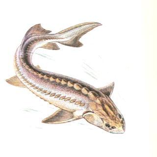 СХК открыт для сотрудничества в рамках расследования гибели молоди осетра в рыболовном хозяйстве вблизи ТЭЦ
