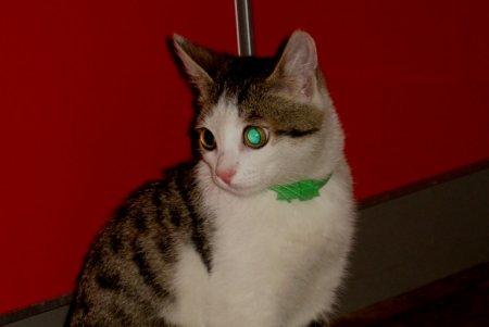 Найден серо-белый котенок