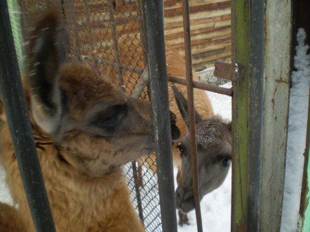 В зоопарке поселились молодые ламы