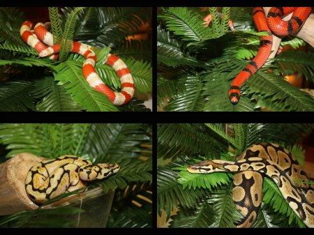 Северский зоопарк приобрел к новому году молодых змей