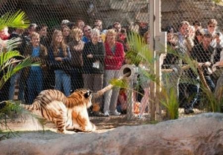 Гости нового зоопарка смогут перетягивать канат с тигром