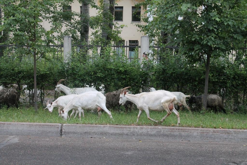 Козы гуляют по улицам Северска