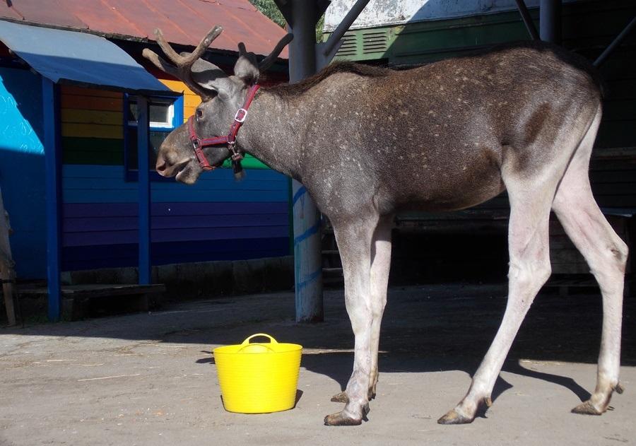 В зоопарке отпразднуют новоселье лося Гаврюши