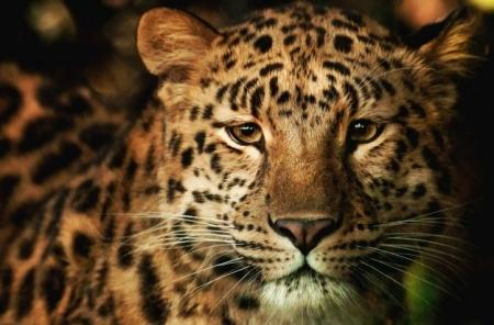 Лучшим защитником зоопарка признали леопарда Енисея