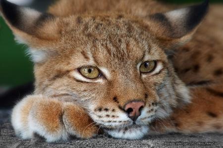 Самка рыси Ириска стала красой северского зоопарка