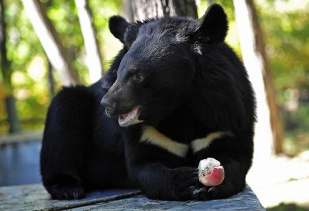 Медведицу заподозрили в «родах малыша»
