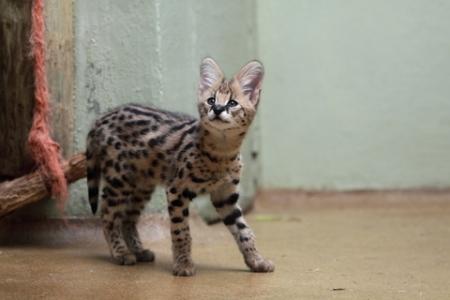 В зоопарке у пары сервалов родились котята