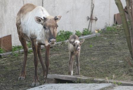 Впервые за шесть лет в зоопарке родился северный олень