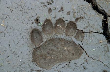 В лесу, где пропал пенсионер, обнаружены медвежьи следы