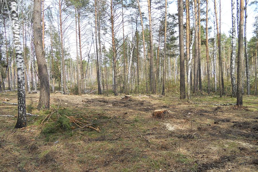 Черные лесорубы вырубили лес на 12 миллионов рублей