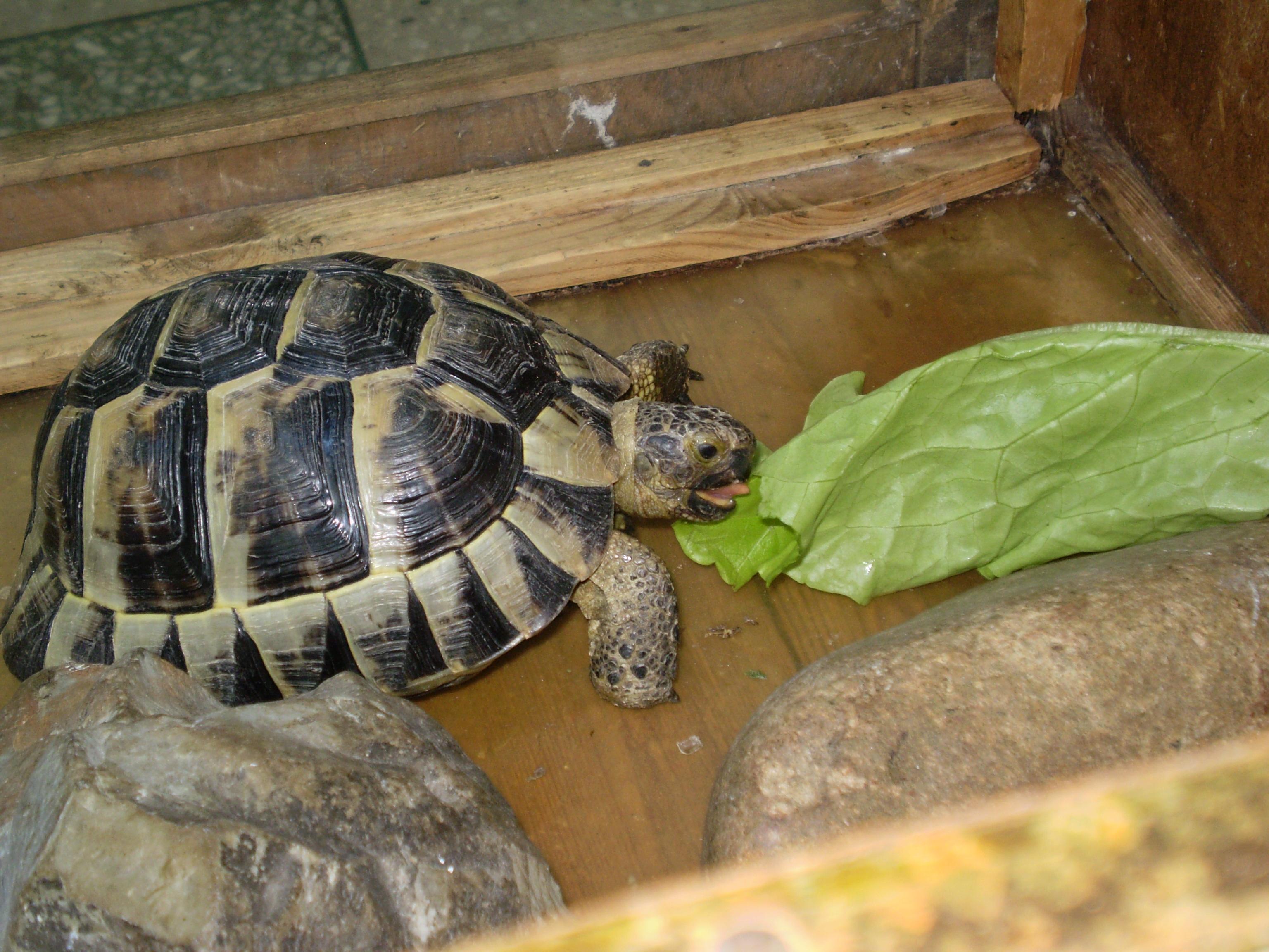Содержание среднеазиатской черепахи домашних условиях