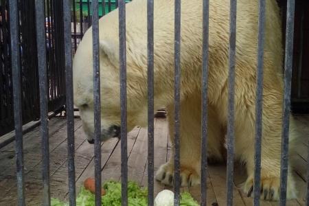 Белому медведю в этом году исполнится 26 лет