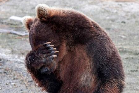Охотники застрелят медведя, бродившего в запретной зоне Северска