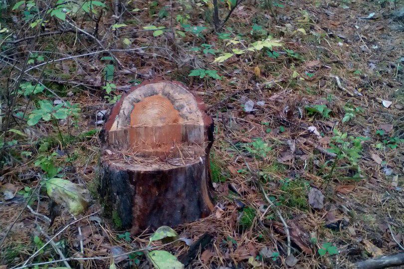 Вырубка леса продолжается