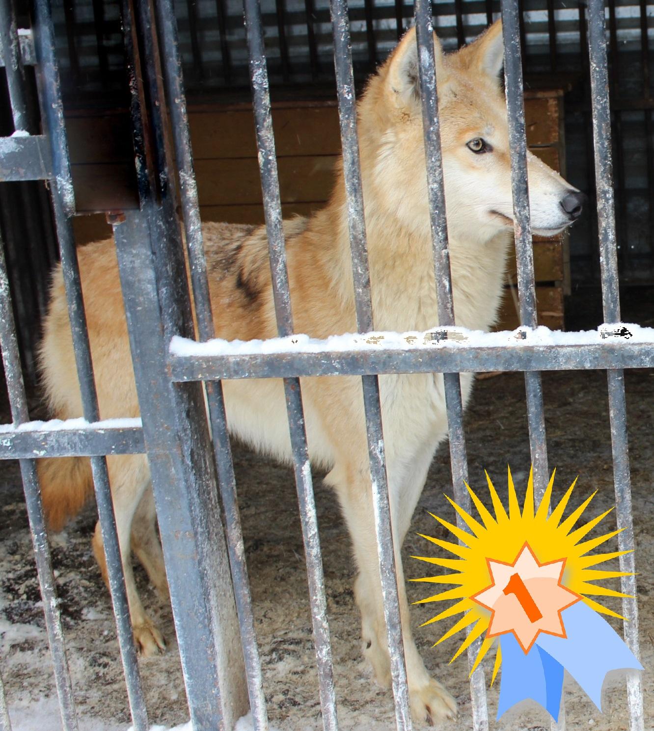 Волчица Тайна стала самой красивой обитательницей зоопарка