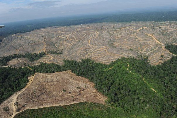 Китайцы ведут сплошную вырубку лесов Сибири