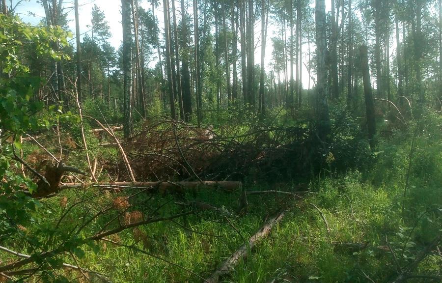 Прокуратура требует возбудить уголовное дело после вырубки деревьев возле Кузовлевского тракта