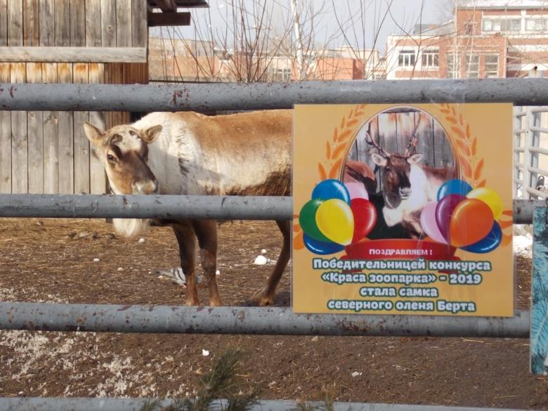 Самка северного оленя Берта стала самой «красивой» в зоопарке