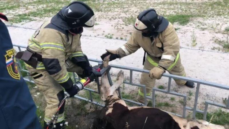 Спасатели вызволили попавшую в ловушку корову