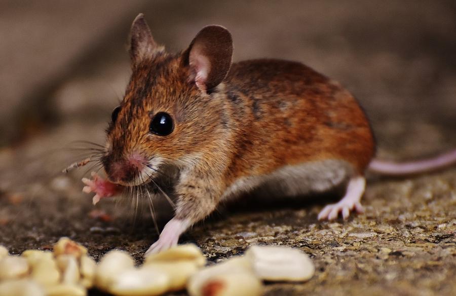Уничтожение грызунов – профилактика туляремии, иерсиниоза и других инфекционных заболеваний