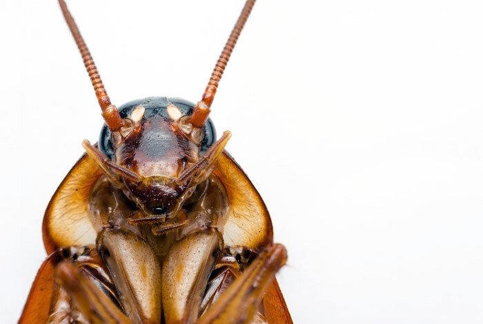 Тараканы - переносчики опасных для здоровья человека заболеваний. Меры борьбы с ними