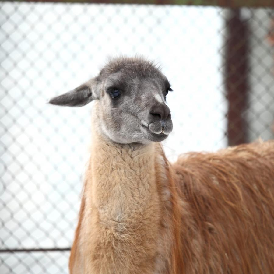 21 ноября в 12:00 в Северском зоопарке пройдет показательное кормление лам