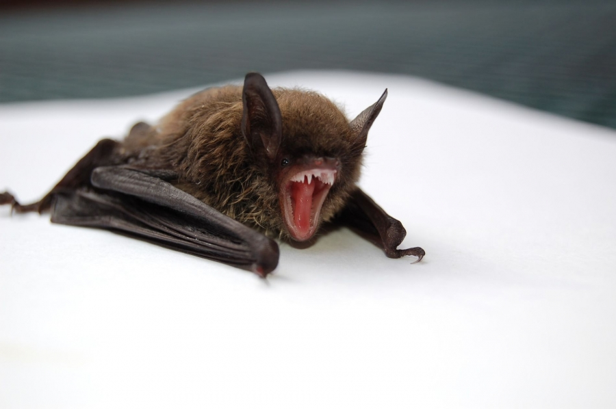 Томские ученые помогли выявить у летучих мышей новые виды клещей, переносящихся опасные инфекции