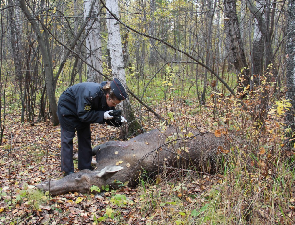 В Северске убиты лоси